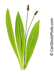 Ribwort plantain (Plantago lanceolata) flowers and leaves...
