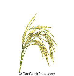 Rice an isolated on a white background