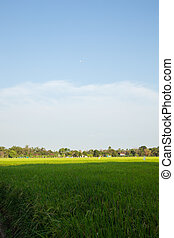Rice and rice fields.