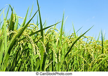Rice and the blue sky