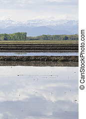 rice crops under the Alps
