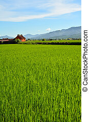 Rice farm in country