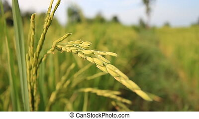 Rice farm in Thailand