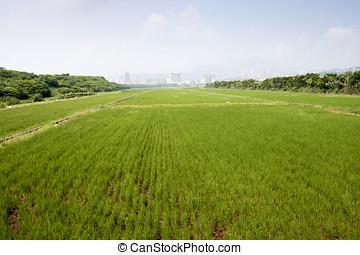 rice farm - a broad view of rice farm in taipei
