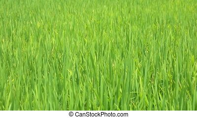 Rice Farming Field High Definition Movie Footage - Rice...