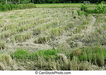rice field after harvested