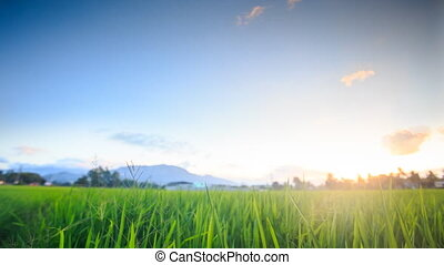 Rice Field against Distant Mountains Blue Sky