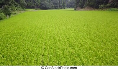 rice field among the forest - tracking shot of green rice...