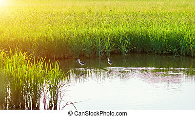 Rice field and water.