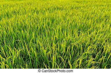 Rice field background landscape.