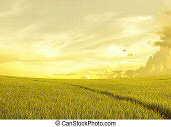 rice field before sunset