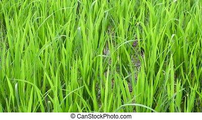 Rice Field. Blowing wind