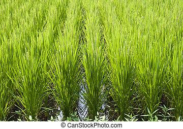 rice-field, filas