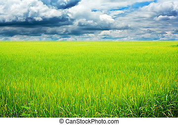 Rice field green grass blue sky cloud cloudy landscap