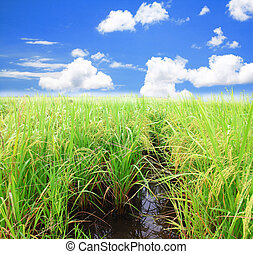 Rice field green grass blue sky landscape background