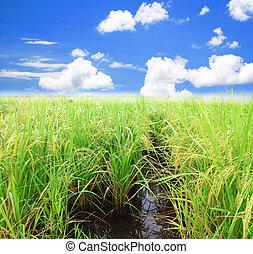 Rice field green grass blue sky landscape background
