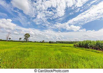 Rice field green grass blue sky with cloud