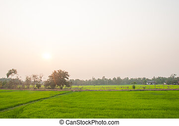 Rice field green grass landscape background