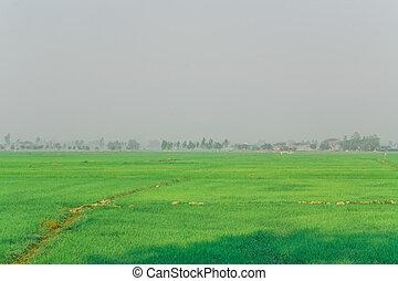 Rice field green grass morning sky cloud cloudy