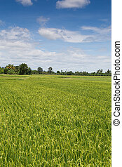 Rice field green landscape background