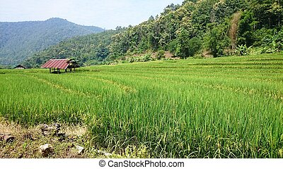 Rice field green of the countryside over the mountain range and beautiful blue sky cloud landscape.