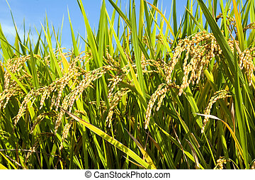 Details of Japanese rice plants in September, just before the harvest.