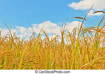 rice field in blue sky