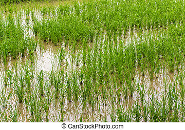 Rice field in Chiangmai , Northen Thailand