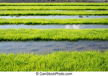 Rice field in Chiengrai Thailand
