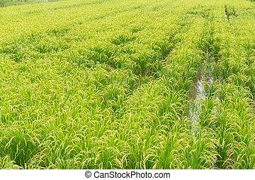 Rice field in farm
