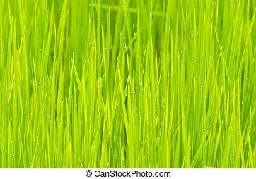 Rice field in Green
