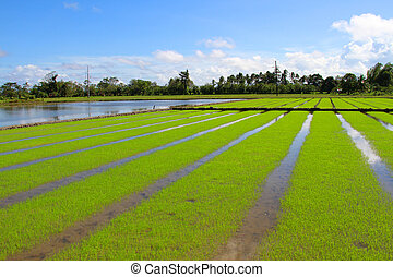 Rice field in Philippinian country side