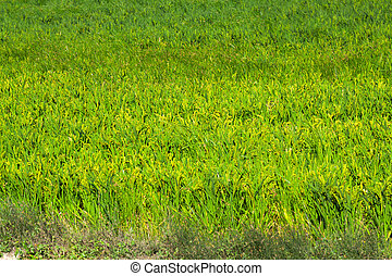 Rice field  in summer