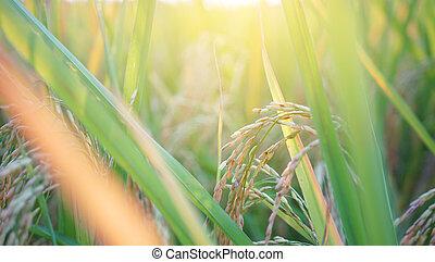 rice field in sunrise
