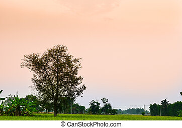 rice field in sunset with cloudscape