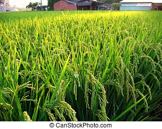 Rice Field in Taiwan - -- ripe and ready for harvest