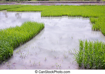 rice field in thailand with copyspace