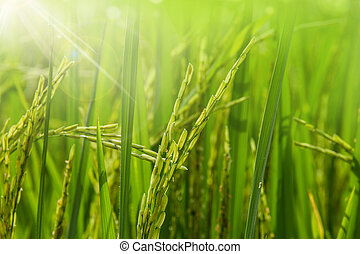 Rice field in the morning