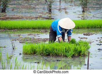 Rice field in Vietnam. Ninh Binh rice paddy - Rice field in...