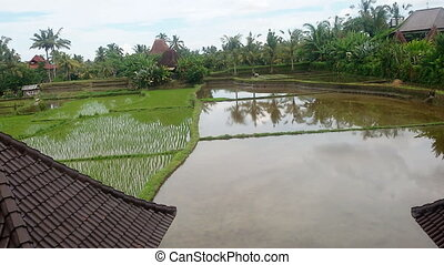 Rice field irrigated with water.