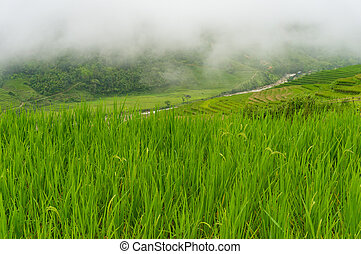 Rice field nature background
