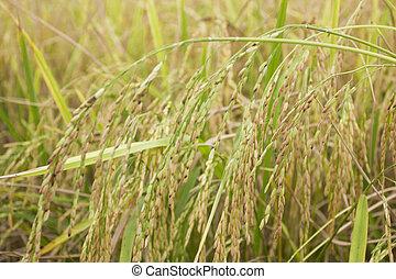 Rice field on harvest