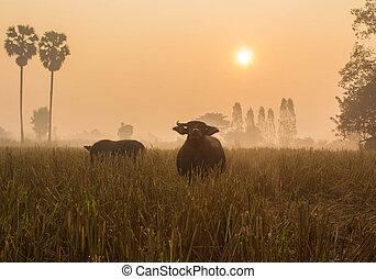 rice field on sunrise.