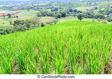 Rice field on the mountain peak of Phu Tabberk in Phetchabun, Thailand.