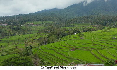 Rice field plantations with water on hill terraces in Bali. Lush green tropical rural farm fields in Indonesia 4K