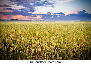 Rice field ready for harvest with beautiful sunset background