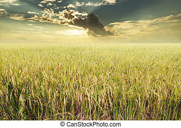 Rice field ready for harvest with clouds and sun rays background