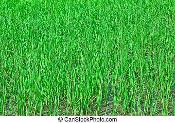 Rice field in rural of Thailand and the paddy grew well.