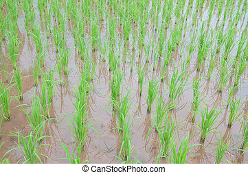 Rice field show agriculture background