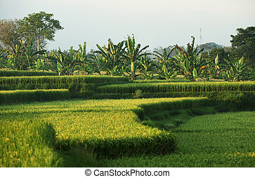 Rice field in Bali. Indonesia